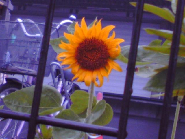 「ひまわりの咲く頃が、ボクの誕生日です」(『うちのタマ知りませんか』より)